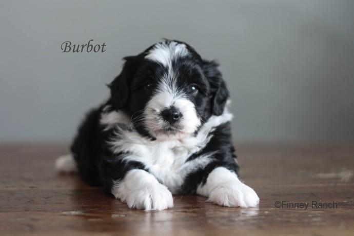 Burbot